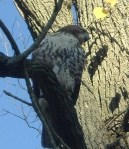 Hawk rests in tree above the Pennypack Creek